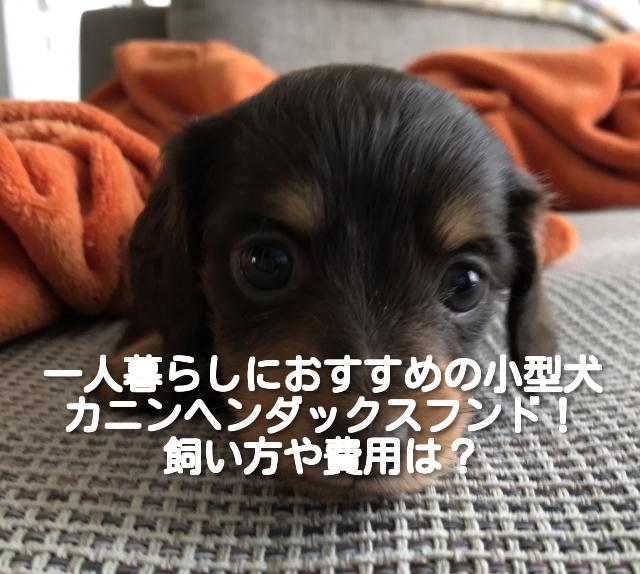 [一人暮らしにおすすめの小型犬 ⑤]カニンヘンダックスフンドの飼い方や費用は?