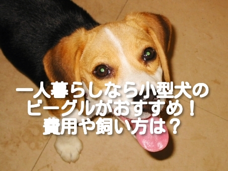 [一人暮らしにおすすめの小型犬⑥]ビーグルの飼い方や費用は?