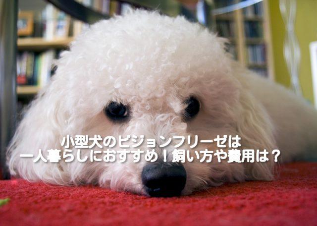 [一人暮らしにおすすめの小型犬 ②]ビジョンフリーゼの飼い方や費用は?