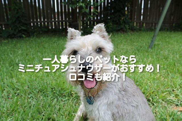 [一人暮らしにおすすめの小型犬⑨]ミニチュアシュナウザーの飼い方や費用は?