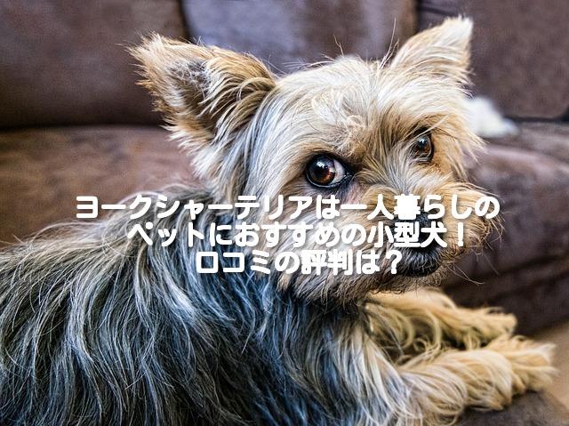 [一人暮らしにおすすめの小型犬⑧]ヨークシャーテリアの飼い方や費用は?