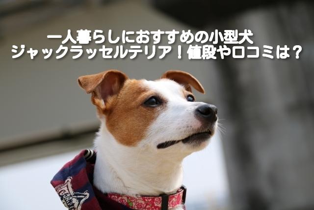 [一人暮らしにおすすめの小型犬⑦]ジャックラッセルテリアの飼い方や費用は?