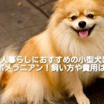 [一人暮らしにおすすめの小型犬①]ポメラニアンの飼い方や費用は?